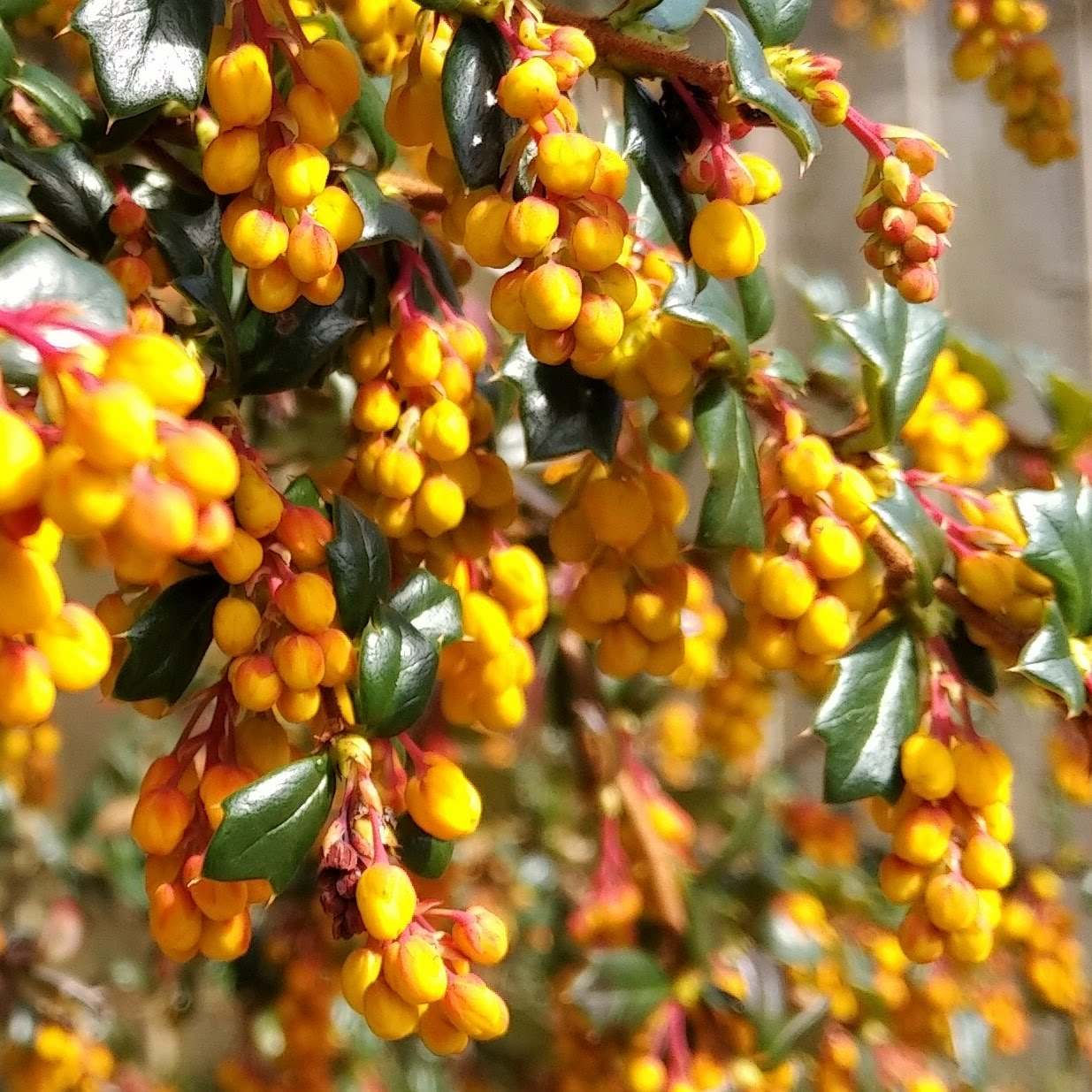 Berberis flower