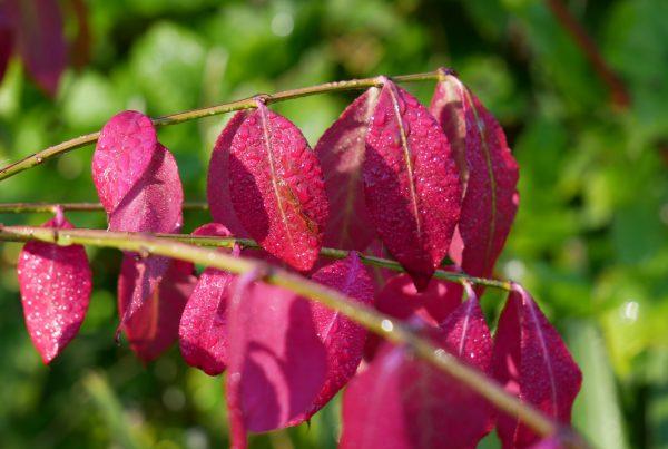 Euonymus alatus autumn colour