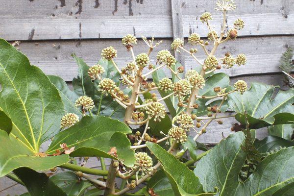 Fatsia flower