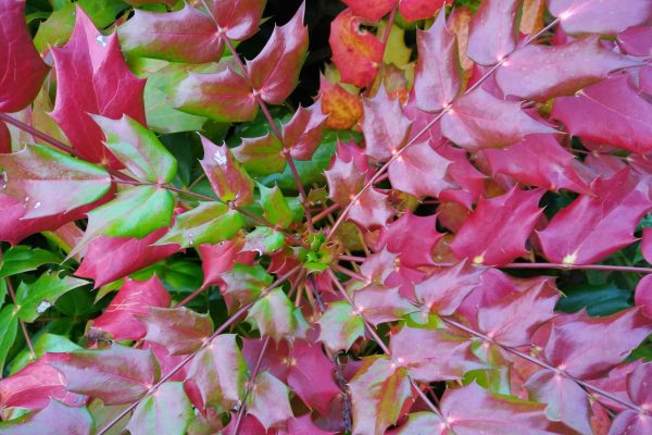 Mahonia foliage