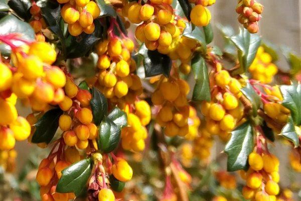 Berberis flower