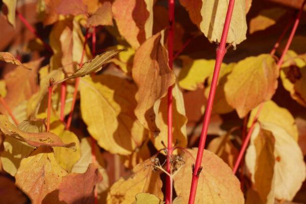 Cornus winter stem